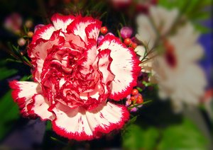 Carnation, White with Red Bord: A white carnation with a red border.