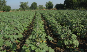 Castor farm 1: Castor farm in Village Savli in Gujarat, India.