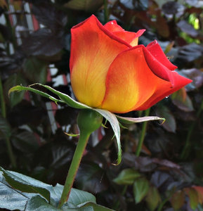 rosy red: fiery coloured red rose flowers