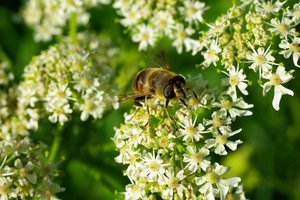 bee macro: white flowers bee macro