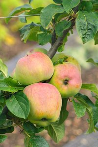 English apples on a branch: English apples on a branch
