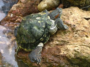 Red Eared Slider Free stock photos - Rgbstock -Free stock images ...