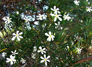 white propeller: propeller-like white and yellow flower of the wedding bush