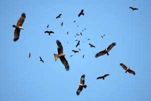 kites in flight: This image is a composite of a few images. I got the circling kites because I was standing bang in the middle of the wharf/ fish market!!!