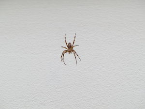 cross spider: no description