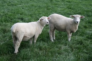 White lambs: Lambs enjoying fresh green pasture in West Sussex, England.