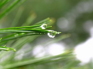 Rain drops: Rains drops falling from long needle pin branches