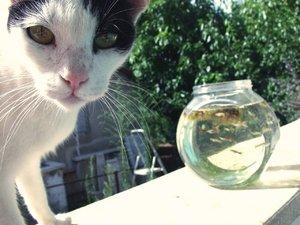 cat with guppies