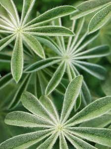 lupin leaves 1