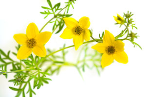 Bidens flowers: no description