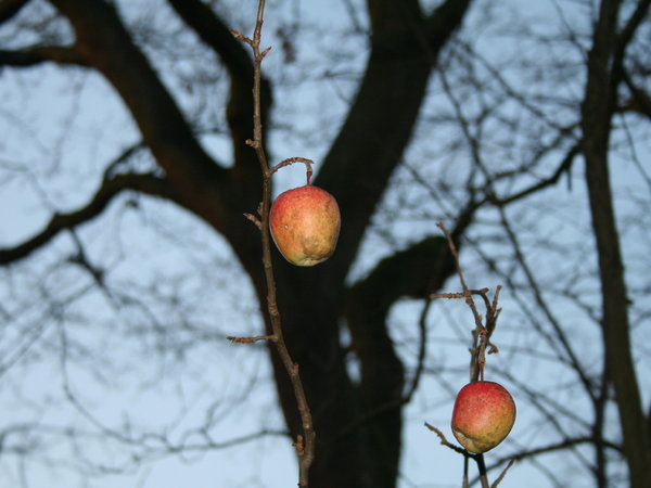 lonely apple: waiting for pluck...
