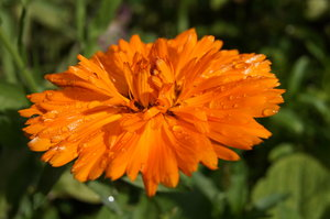 marigold after rain: Flower of Calendula officinallis