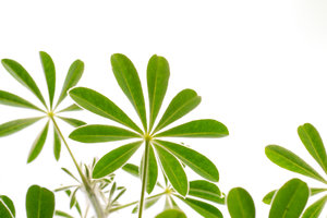 lupin leaves