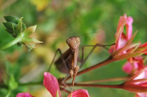 Praying mantis: Praying Mantis