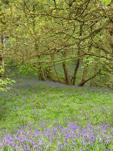 Bluebells: Bluebells in a wood in Derbyshire