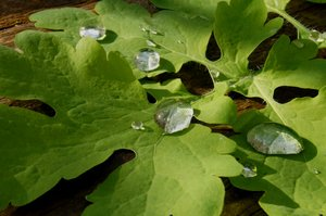 after rain: drops of water on geen leaf