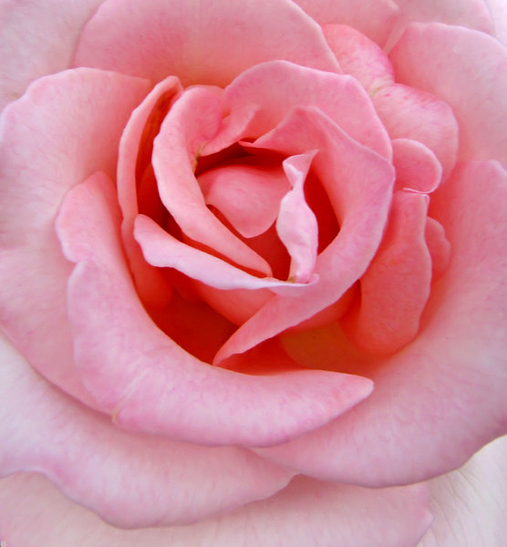 in the pink: pink rose - delicate petals and colours