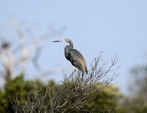 Tricolored Heron: These shots were taken late in the afternoon. Was very surprised it stayed in this tree for numerous shots.