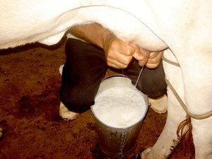 Milking a cow: Cow being milked