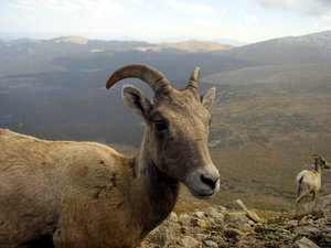 Bighorn Sheep: Some bighorn sheep, Colorado's state animal. I found these guys up on Mt. Evans and they walked right up to the car. To my mom's horror, my sister reached out the window and petted one. I was content (thrilled really) to snap a few photos.