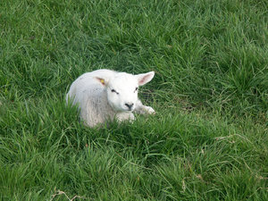 lamb: lamb in grass