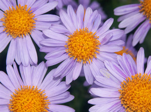 flowers: violet flowers with yellow middle