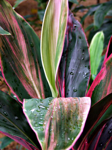 foliage colour lines: large broad leaved plants showing lined and colourful leaves, foliage