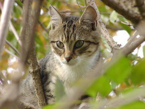 On The Hunt (domestic tiger) 1: Young cat on the hunt on one of the last sunny days of October