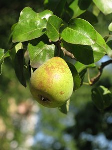 pear tree: none