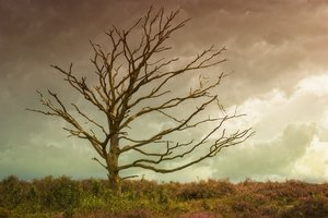 Sorrow: Old tree in heather field