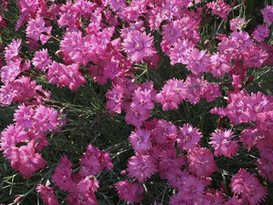 Garden pinks: A Dianthus cultivar in a garden in West Sussex, England.