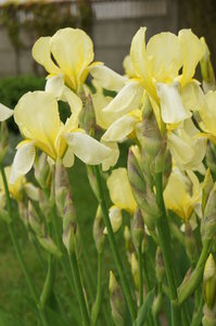 yellow iris: no description