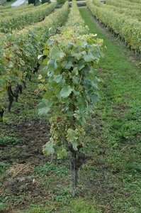 Vineyard 3: Swiss vineyard - chasselas grape wine