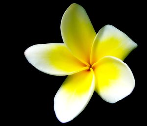 Frangipani or Plumeria: Frangipani against a black background. Also known as Plumeria. Not for sharing or sale on any other site. Please use according to the license agreement. You may prefer:  http://www.rgbstock.com/photo/2dyVlEl/Frangipanni%2FPlumeria+Arc  or:  http://www.rgbstock.com/photo/2dyVvRW/Hibiscus+Bi-colour+on+Black