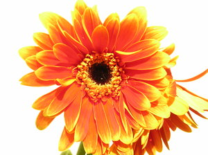 Gerbera 2: summer flowers :)this is a real photo :) I don`t use program to change it :)