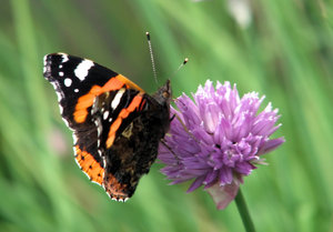 Red Admiral: Red Admiral on a Chive flower