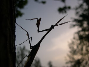 praying mantis: praying mantis!
