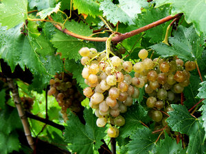 grape in a raining day