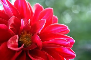 dahlia: Flower in my garden