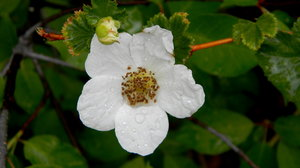 Wild Rose: Some wild flowers in Poudre Canyon, CO. At the Mountain Park Campground.
