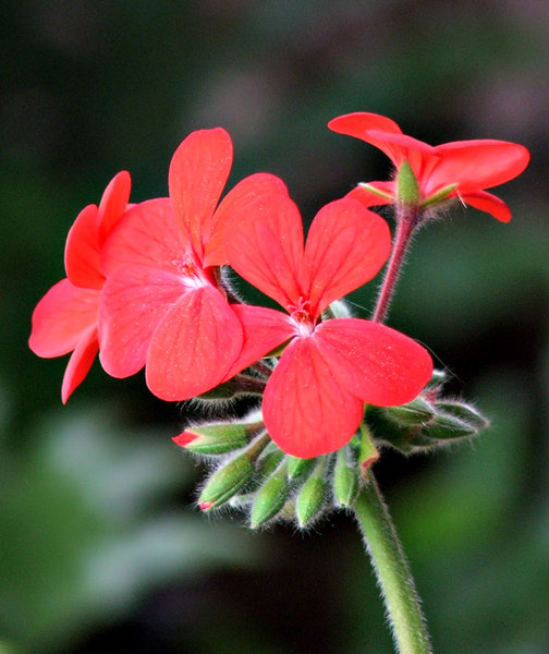 red geranium: red garden geranium or pelargonium,