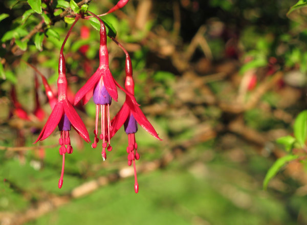 fuchsia flowers: none