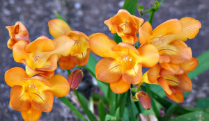 freesia gold