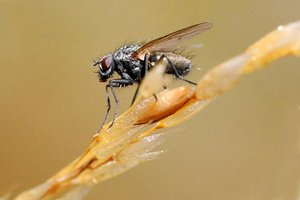 Fly: True flies are insects of the order Diptera (di = two, and ptera = wing).