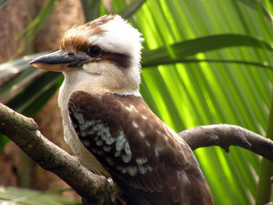 Laughing Kookaburra: From Jesperhus Blomsterpark, Denmark