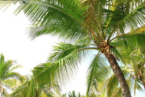 Coconut Trees 3