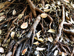 dry & tangled: tangled surface roots with dry leaves and seed pods that someone attempted to burn