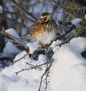 Winter: Winter bird