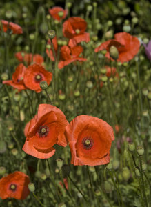 Poppies 3: Red poppies.