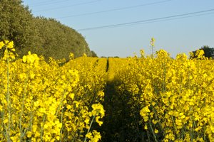 Rape field: Rape field